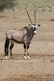 Gemsbok Photographie stock