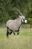 Gemsbok Royalty Free Stock Photography