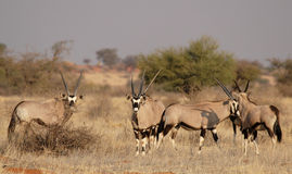 Gemsbok Stock Image