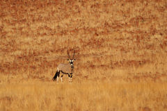 Gemsbok Photo stock