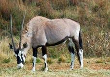 Gemsbok. Image of an African Gemsbok Antelope feeding in the savannah Royalty Free Stock Image