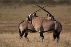 Gemsbok Stockbild