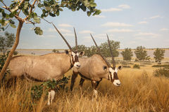 Gemsbok Stock Photos