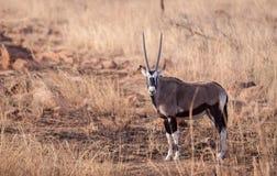 Gemsbok Afrika royalty-vrije stock afbeelding
