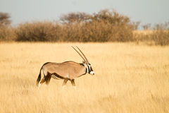 Gemsbok antelope Royalty Free Stock Photos