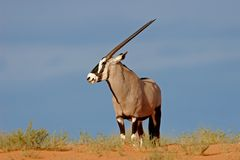 Gemsbok antelope Royalty Free Stock Photos