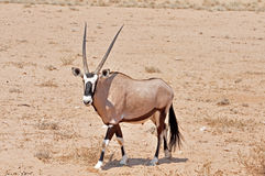 Gemsbok Antelope in Africa Royalty Free Stock Photography