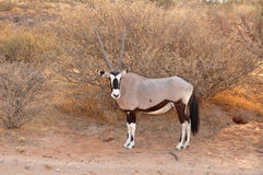 Gemsbok Antelope in Africa Stock Photography