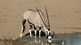 Gemsbok antelope drinking water stock video