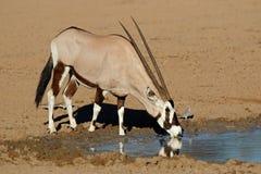 Gemsbok antelope drinking water Stock Photography