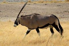 Gemsbok antelope, Etosha National Park Stock Image