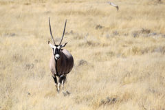Gemsbok antelope, Etosha National Park Stock Photos
