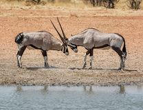 Gemsbok Antelope Fighting. Gemsbok antelope sparring in the Namibian savanna Stock Images
