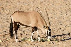 Gemsbok Antelope Stock Photos