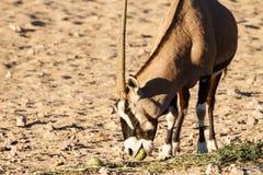 Gemsbok Antelope Royalty Free Stock Photography