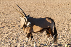 Gemsbok Antelope Royalty Free Stock Photography