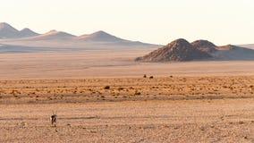 Gemsbok Antelope Royalty Free Stock Photo