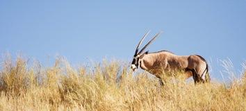 Gemsbok antelope grazing in the Kalahari. South Africa Royalty Free Stock Photo
