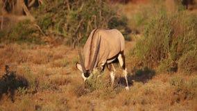 Gemsbok antelope grazing stock footage