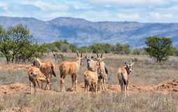 Gemsbok Antelope Stock Photo