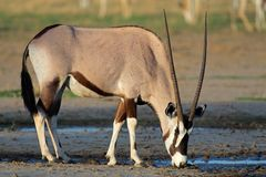 Gemsbok antelope, Kalahari desert, South Africa. Gemsbok antelope (Oryx gazella) drinking water, Kalahari desert, South Africa Stock Photography