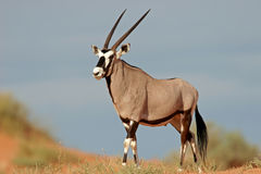 Gemsbok antelope, Kalahari desert, South Africa. A gemsbok antelope (Oryx gazella) on a red sand dune, Kalahari desert, South Africa Stock Images