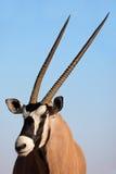 Gemsbok antelope, Kalahari desert, South Africa. Portrait of a Gemsbok antelope (Oryx gazella) against a blue sky, Kalahari desert, South Africa royalty free stock photography