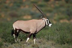 Gemsbok antelope in natural habitat Stock Photo