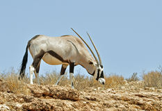 Gemsbok Antelope (Oryx gazella) Royalty Free Stock Images