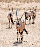 Gemsbok Antelope (Oryx gazella) Royalty Free Stock Images