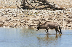 Gemsbok antelope (Oryx gazella) Royalty Free Stock Photos
