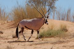 Gemsbok Antelope (Oryx gazella). Gemsbok Antelope crossing a sand dune in the Kalahari desert Royalty Free Stock Images