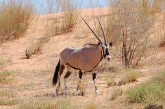 Gemsbok Antelope (Oryx gazella). Crossing a sand dune in the Kalahari desert Stock Photography