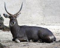 Gemsbok antelope  Oryx gazella Royalty Free Stock Photography