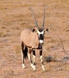 Gemsbok Antelope (Oryx gazella) Royalty Free Stock Photography