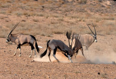 Gemsbok Antelope (Oryx gazella). Male Gemsbok Antelope fighting in the Kgalagadi Transfrontier Park, Southern Africa Royalty Free Stock Photos