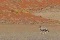Gemsbok antelope (Oryx gazella). Namib desert, Namibia Stock Photography