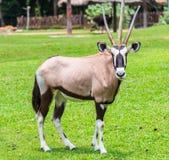 Gemsbok antelope or Oryx gazella Royalty Free Stock Images