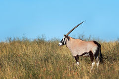 Gemsbok antelope Royalty Free Stock Image