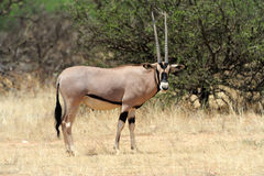 Gemsbok antelope Stock Photos