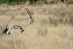 Gemsbok Royalty Free Stock Images