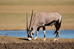 Gemsbok antelope Stock Images