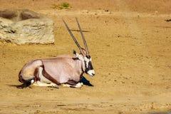Gemsbok Antelope Resting Stock Photo