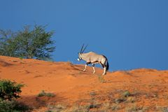 Gemsbok antelope on sand dune Royalty Free Stock Photography