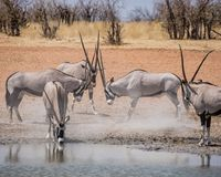 Gemsbok Antelope. Sparring in the Namibian savanna Royalty Free Stock Images