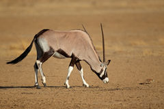 Gemsbok antelope and squirrel Royalty Free Stock Photography