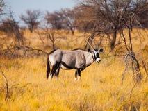 Gemsbok antelope in the yellow grass. Gemsbok antelope, or Oryx gazella, standing in the dry yellow grass of savanna in Etosha National Park, Namibia Royalty Free Stock Photos
