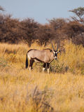Gemsbok antelope in the yellow grass Stock Images