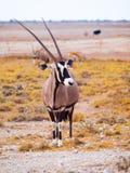 Gemsbok antelope in the yellow grass. Gemsbok antelope, or Oryx gazella, standing in the dry yellow grass of savanna in Etosha National Park, Namibia Royalty Free Stock Images