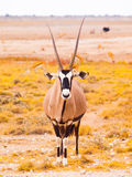 Gemsbok antelope in the yellow grass. Gemsbok antelope, or Oryx gazella, standing in the dry yellow grass of savanna in Etosha National Park, Namibia Stock Image